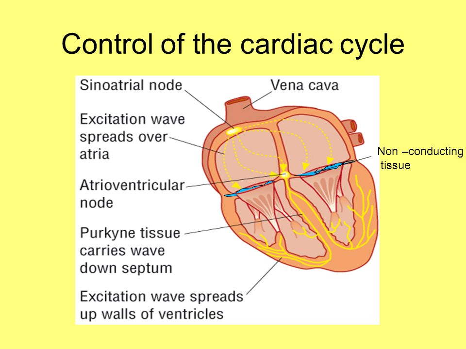 Control of the cardiac cycle Non –conducting tissue