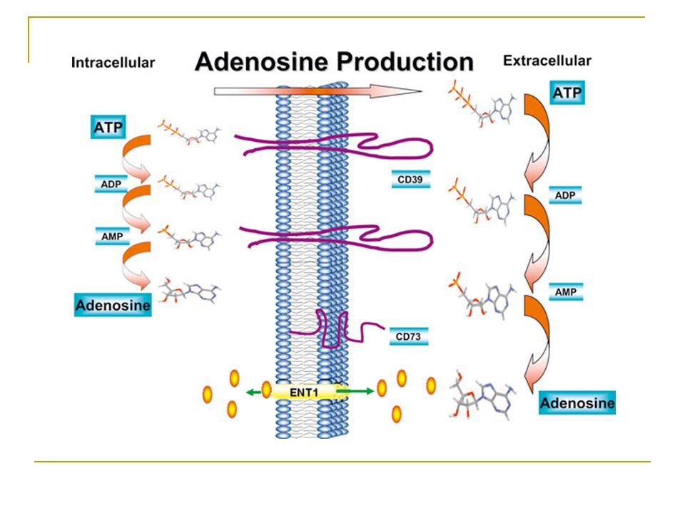 Nucleotide/Nucleoside exchangers Exchangers may exist for ATP in the plasma membrane, as they do in mitochondrial inner membrane, where ADP may be the exchanged substrate.