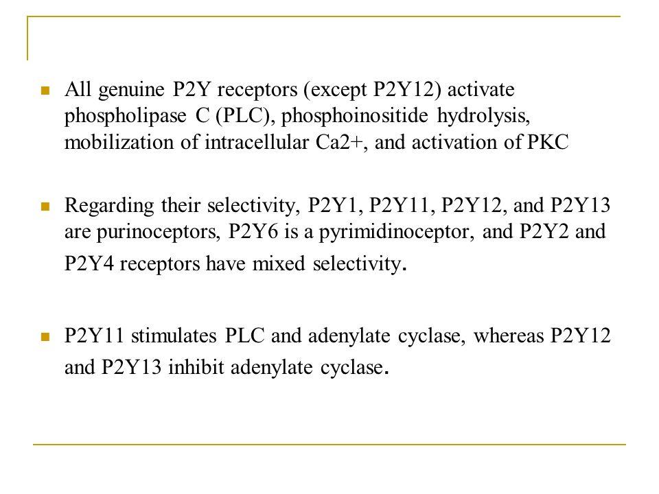 All genuine P2Y receptors (except P2Y12) activate phospholipase C (PLC), phosphoinositide hydrolysis, mobilization of intracellular Ca2+, and activation of PKC Regarding their selectivity, P2Y1, P2Y11, P2Y12, and P2Y13 are purinoceptors, P2Y6 is a pyrimidinoceptor, and P2Y2 and P2Y4 receptors have mixed selectivity.