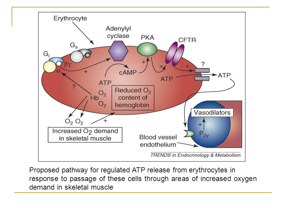Proposed pathway for regulated ATP release from erythrocytes in response to passage of these cells through areas of increased oxygen demand in skeletal muscle