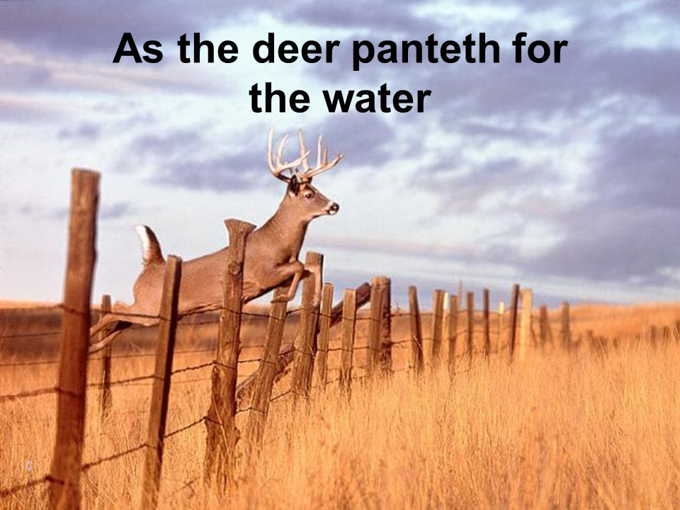 As the deer panteth for the water ©