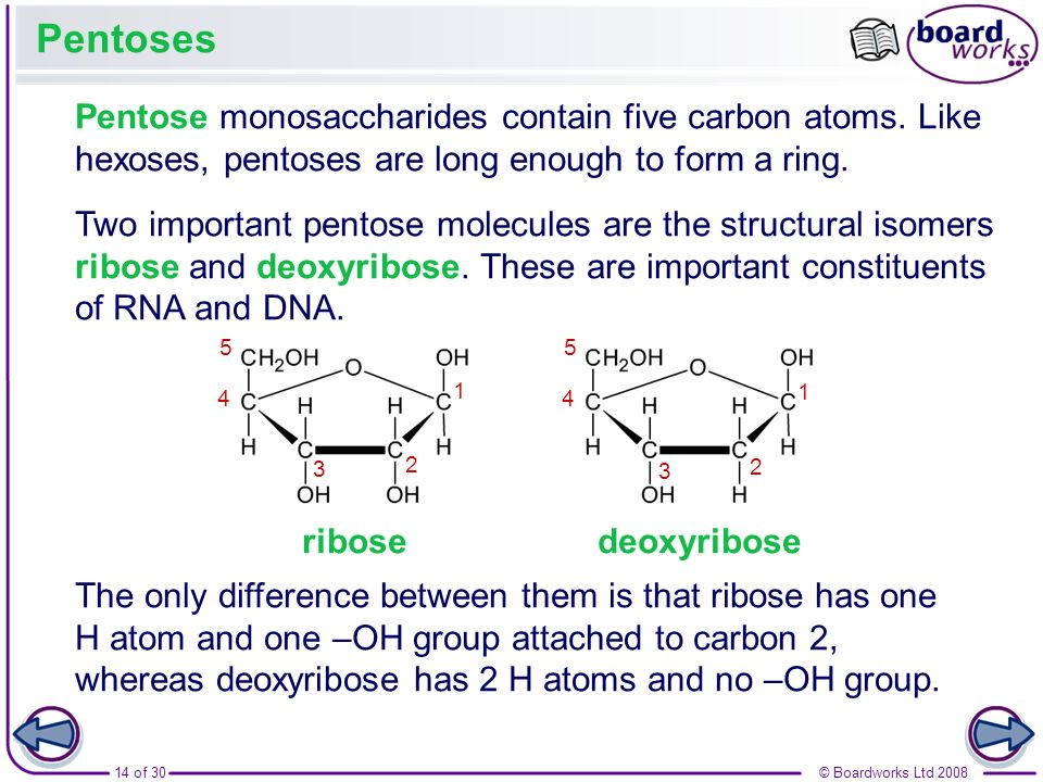 14 of 30© Boardworks Ltd 2008 Pentoses Pentose monosaccharides contain five carbon atoms. Like hexoses, pentoses are long enough to form a ring. Two i