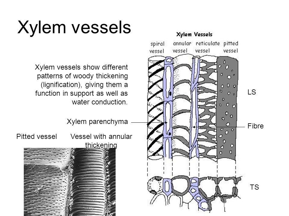 Xylem Tissue Diagram Xylem vessels LS TS Xylem