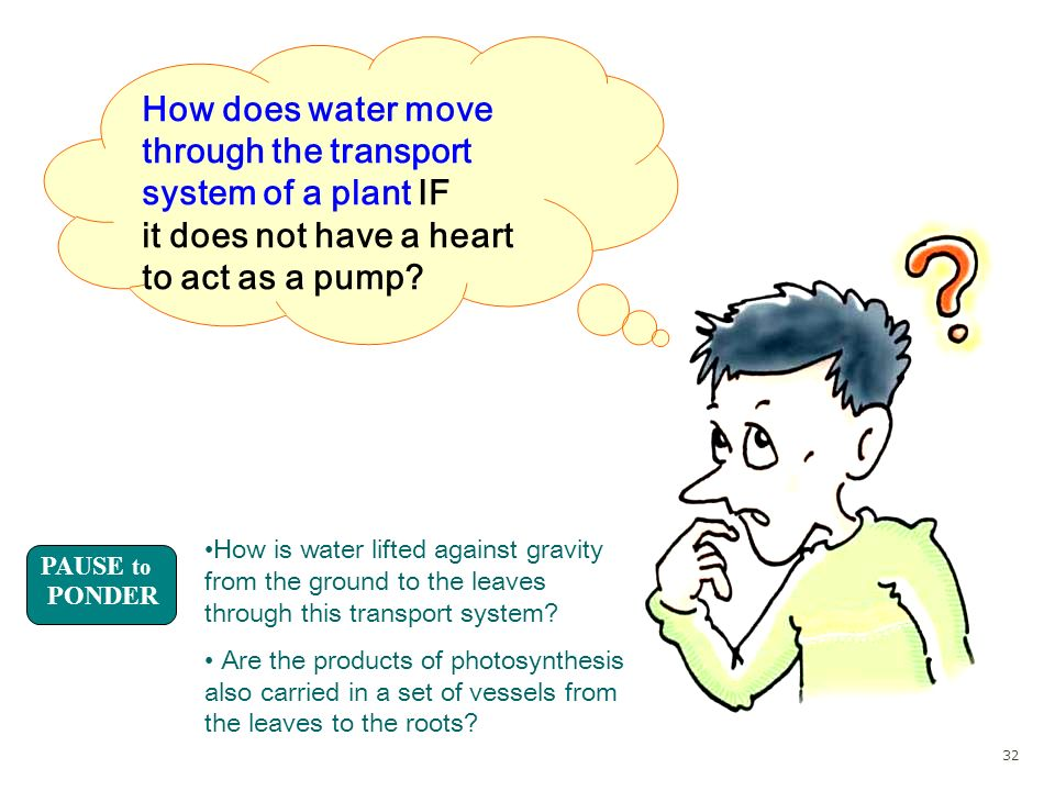 How does water move through the transport system of a plant IF it does not have a heart to act as a pump? PAUSE to PONDER How is water lifted against