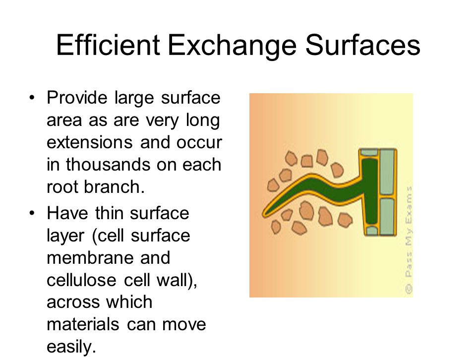 Efficient Exchange Surfaces Provide large surface area as are very long extensions and occur in thousands on each root branch. Have thin surface layer