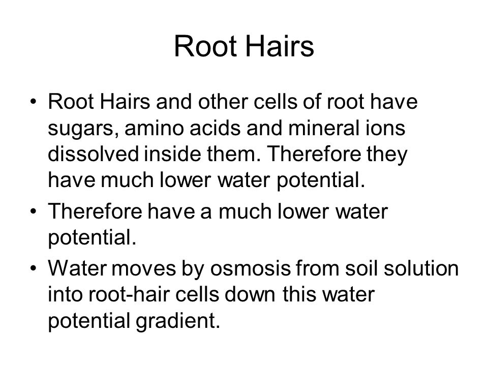 Root Hairs Root Hairs and other cells of root have sugars, amino acids and mineral ions dissolved inside them. Therefore they have much lower water po