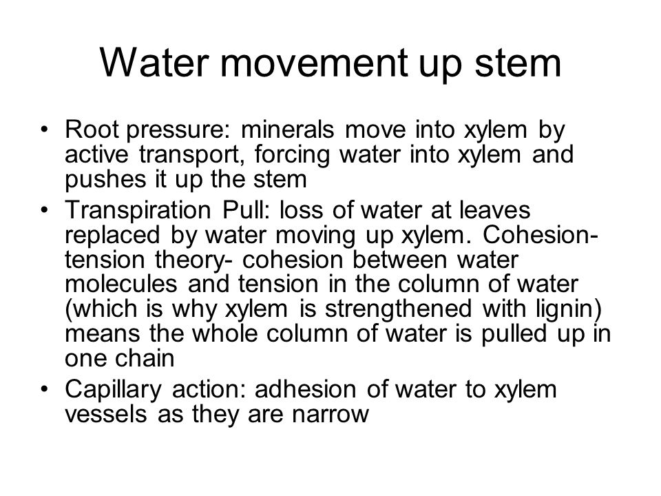 Water movement up stem Root pressure: minerals move into xylem by active transport, forcing water into xylem and pushes it up the stem Transpiration P