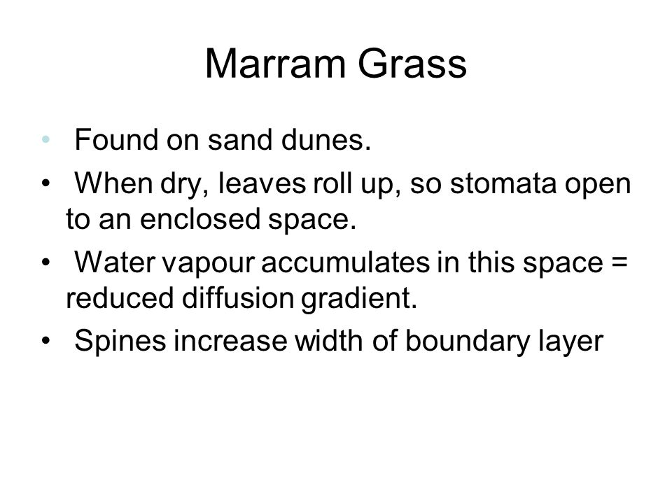 Marram Grass Found on sand dunes. When dry, leaves roll up, so stomata open to an enclosed space. Water vapour accumulates in this space = reduced dif