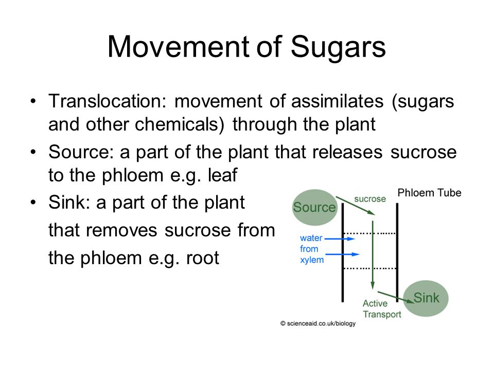 Movement of Sugars Translocation: movement of assimilates (sugars and other chemicals) through the plant Source: a part of the plant that releases suc