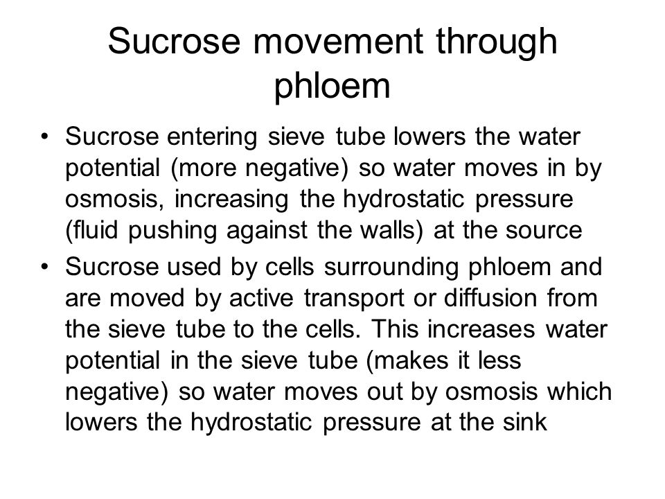 Sucrose movement through phloem Sucrose entering sieve tube lowers the water potential (more negative) so water moves in by osmosis, increasing the hy