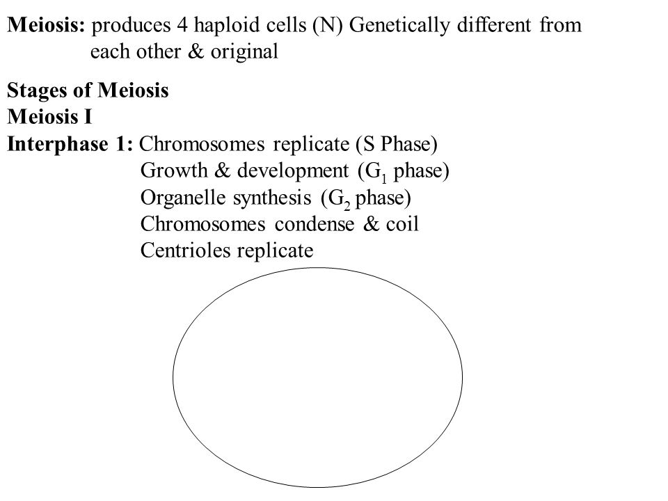 Meiosis: produces 4 haploid cells (N) Genetically different from each other & original Stages of Meiosis Meiosis I Interphase 1: Chromosomes replicate