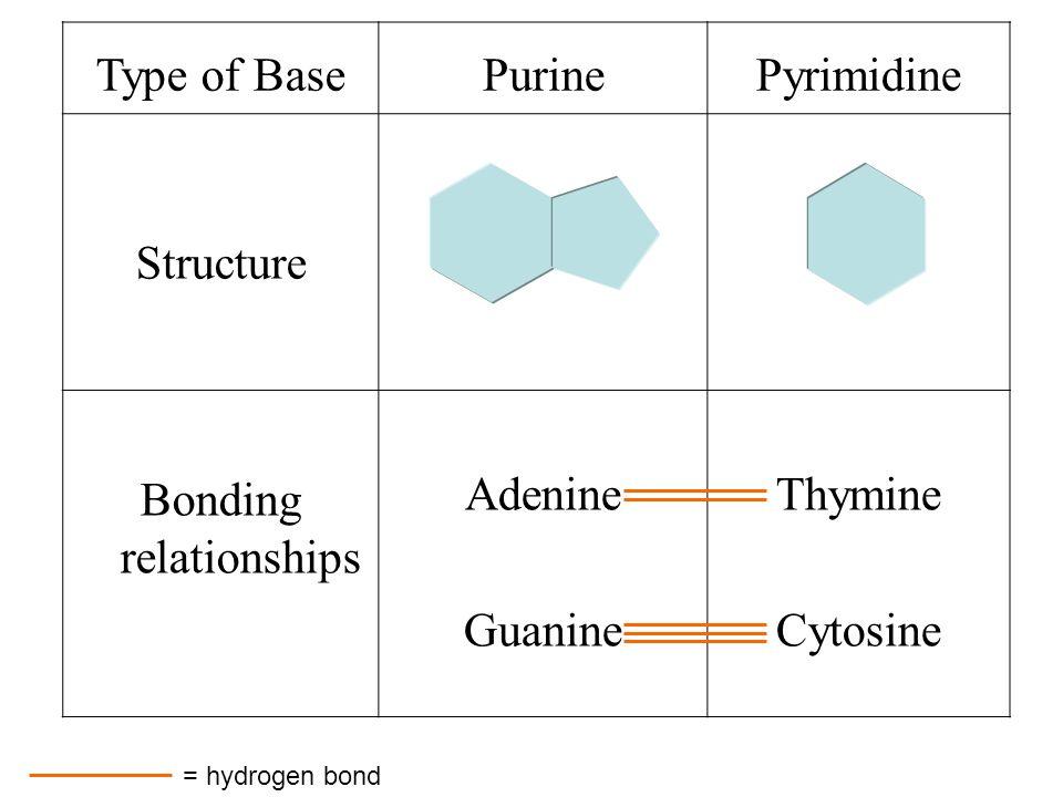 Type of BasePurinePyrimidine Structure Bonding relationships Adenine Guanine Thymine Cytosine = hydrogen bond