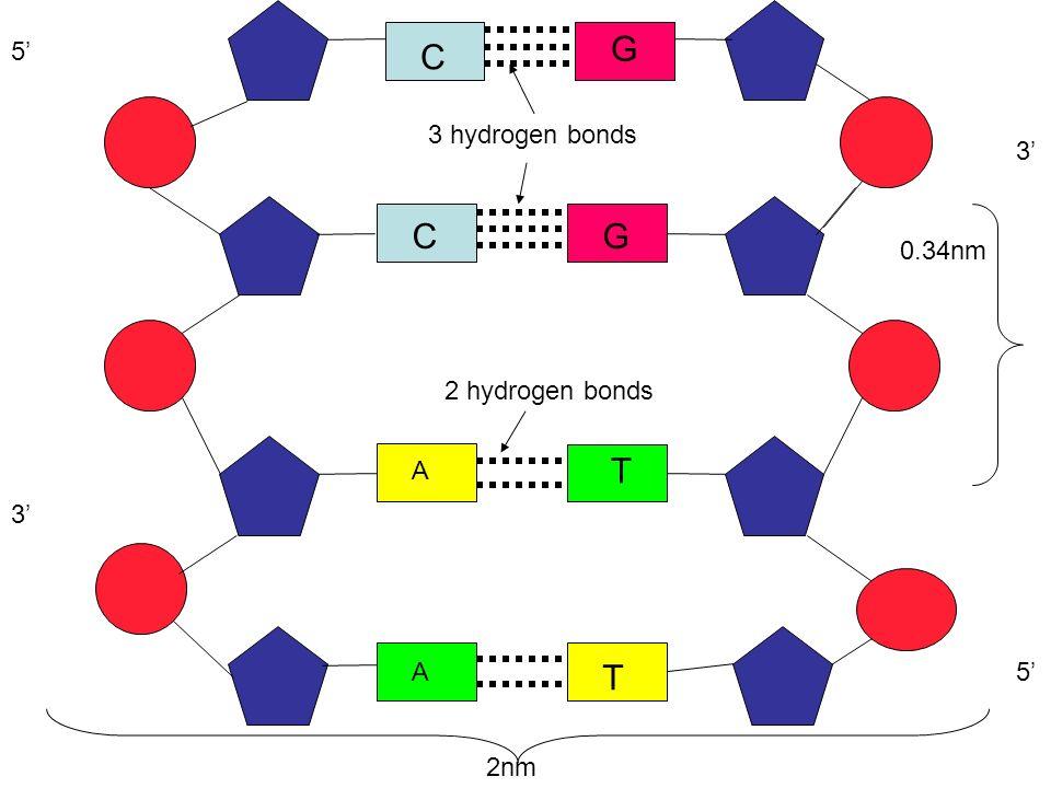 C A G T 2 hydrogen bonds 3 hydrogen bonds 5 3 3 5 0.34nm 2nm A T C G