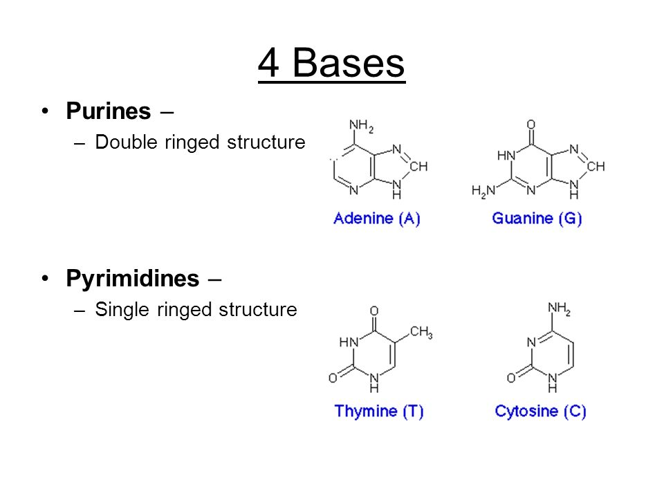4 Bases Purines – –Double ringed structure Pyrimidines – –Single ringed structure