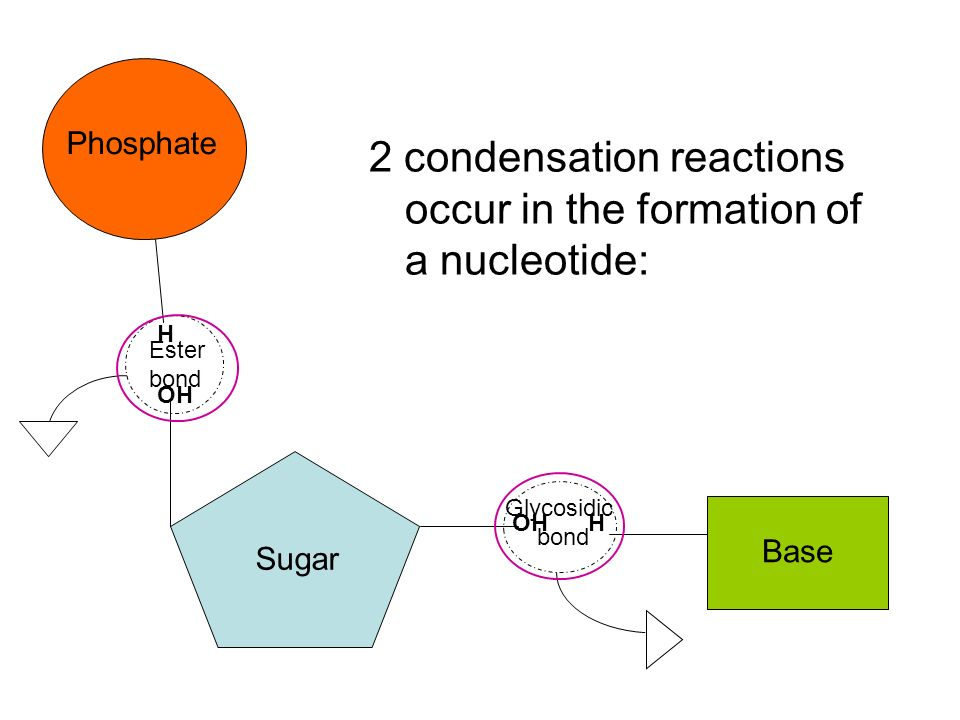 H H OH Phosphate Sugar Base 2 condensation reactions occur in the formation of a nucleotide: Ester bond Glycosidic bond
