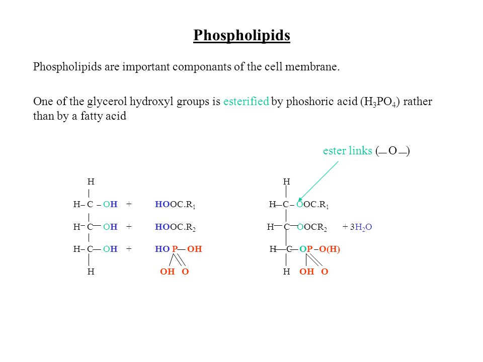 Simplified structure fatty acids - non-polar glycerol hydrophobic (repels water) phosphate group - polar hydrophilic (attracts water)