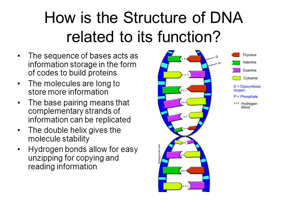 How is the Structure of DNA related to its function? The sequence of bases acts as information storage in the form of codes to build proteins The mole