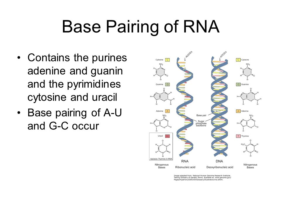 Base Pairing of RNA Contains the purines adenine and guanin and the pyrimidines cytosine and uracil Base pairing of A-U and G-C occur