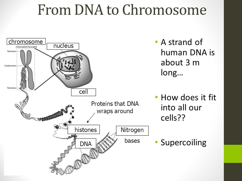 From DNA to Chromosome A strand of human DNA is about 3 m long… How does it fit into all our cells?? Supercoiling chromosome nucleus cell DNA Nitrogen