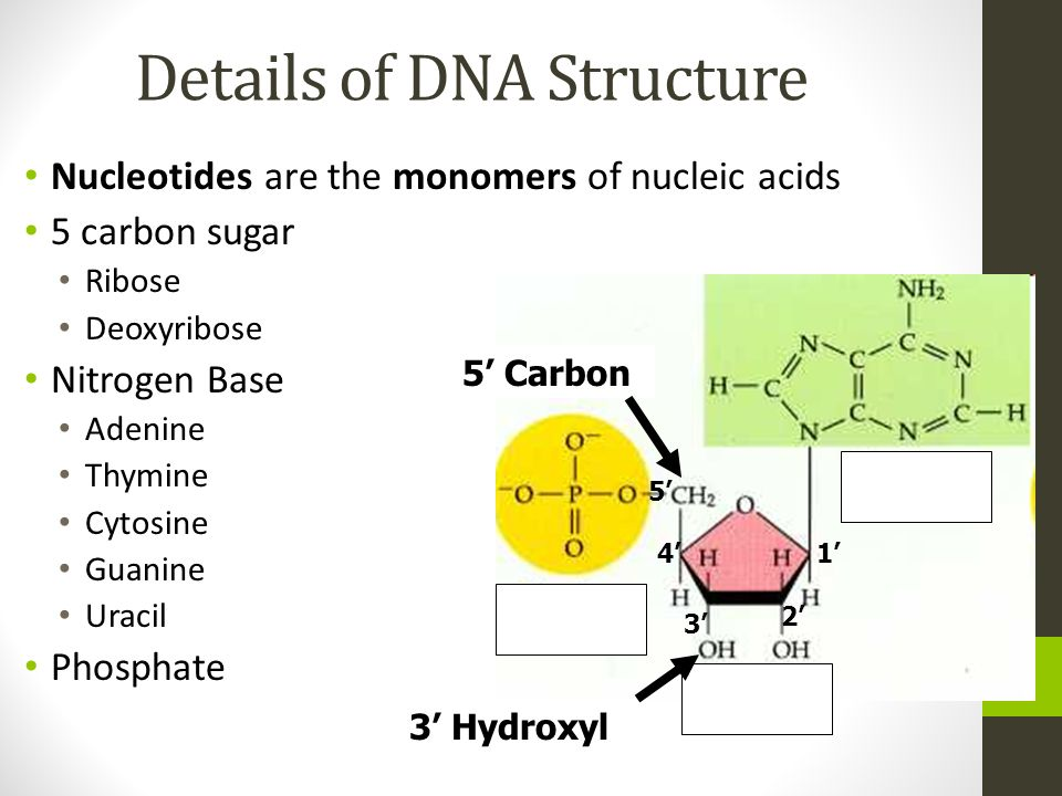 Details of DNA Structure Nucleotides are the monomers of nucleic acids 5 carbon sugar Ribose Deoxyribose Nitrogen Base Adenine Thymine Cytosine Guanin