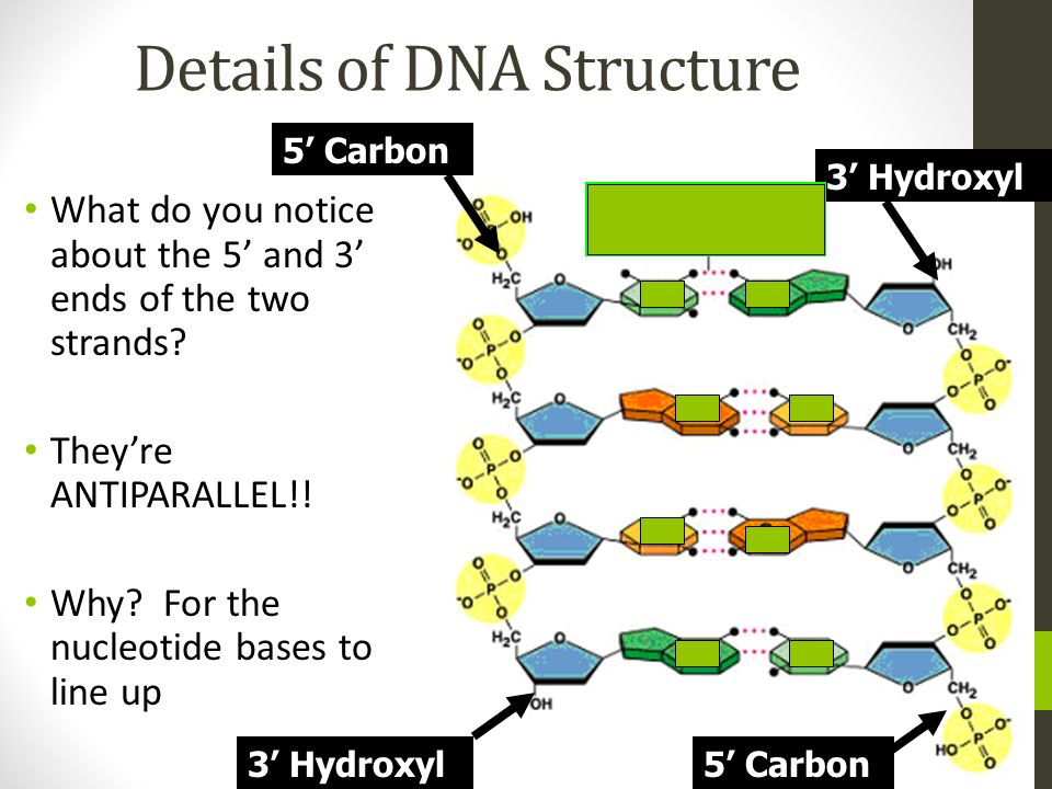 Details of DNA Structure What do you notice about the 5 and 3 ends of the two strands? Theyre ANTIPARALLEL!! Why? For the nucleotide bases to line up
