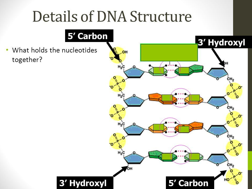Details of DNA Structure What holds the nucleotides together? 5 Carbon 3 Hydroxyl 5 Carbon