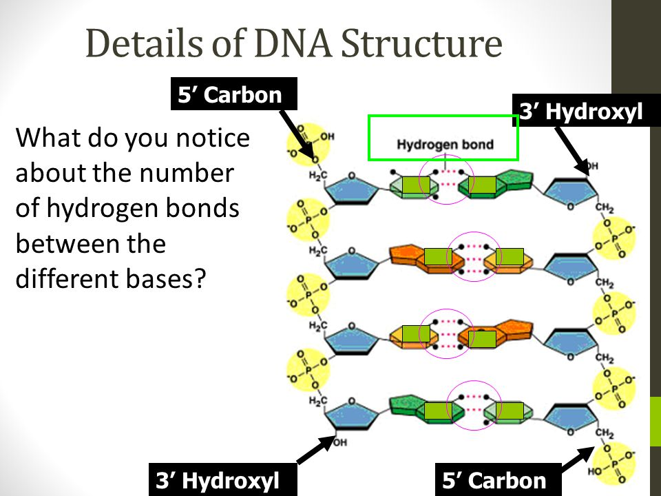 What do you notice about the number of hydrogen bonds between the different bases? 5 Carbon 3 Hydroxyl 5 Carbon