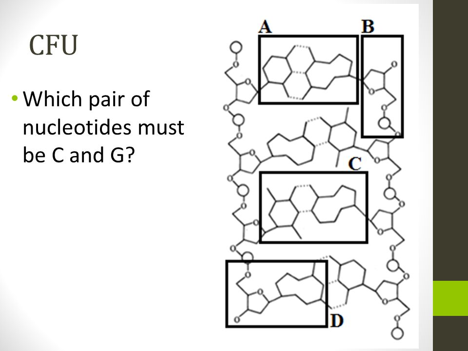 CFU Which pair of nucleotides must be C and G?