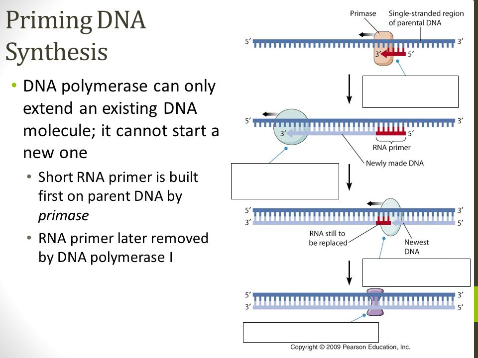Priming DNA Synthesis DNA polymerase can only extend an existing DNA molecule; it cannot start a new one Short RNA primer is built first on parent DNA