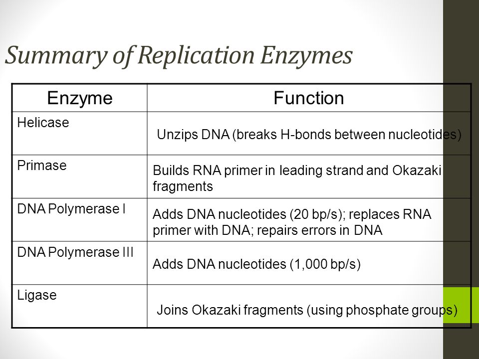 Summary of Replication Enzymes EnzymeFunction Helicase Primase DNA Polymerase I DNA Polymerase III Ligase Unzips DNA (breaks H-bonds between nucleotid