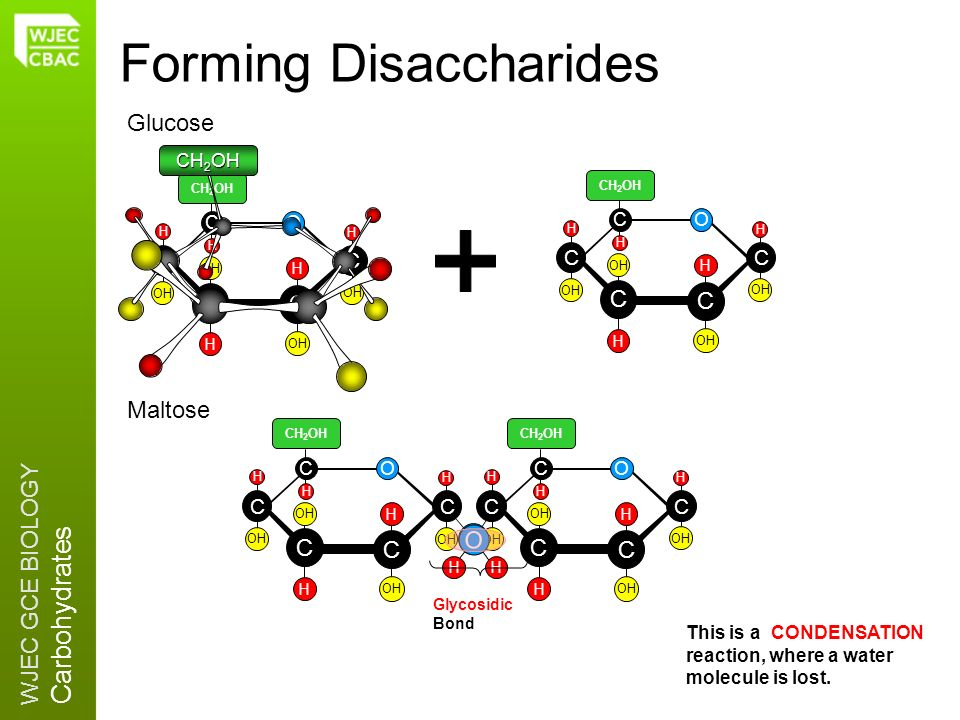 WJEC GCE BIOLOGY Carbohydrates O OH Forming Disaccharides C C C CO C H OH H H CH 2 OH H H C C C CO C H OH H H CH 2 OH H H C C C CO C H OH H H CH 2 OH
