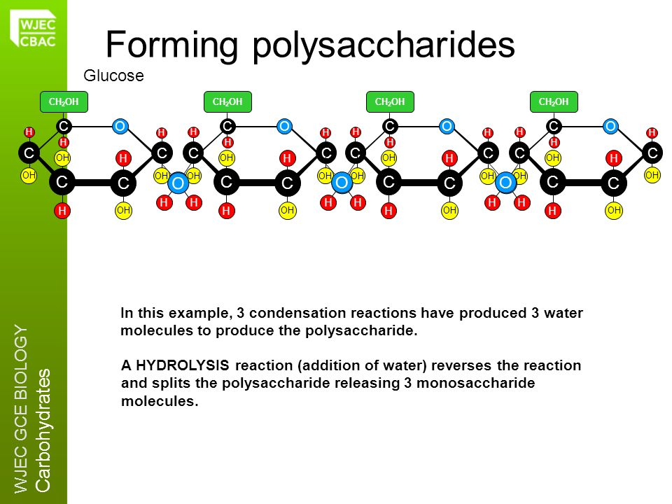 WJEC GCE BIOLOGY Carbohydrates O OH Forming polysaccharides C C C CO C H OH H H CH 2 OH H H C C C CO C H OH H H CH 2 OH H H O HH In this example, 3 co