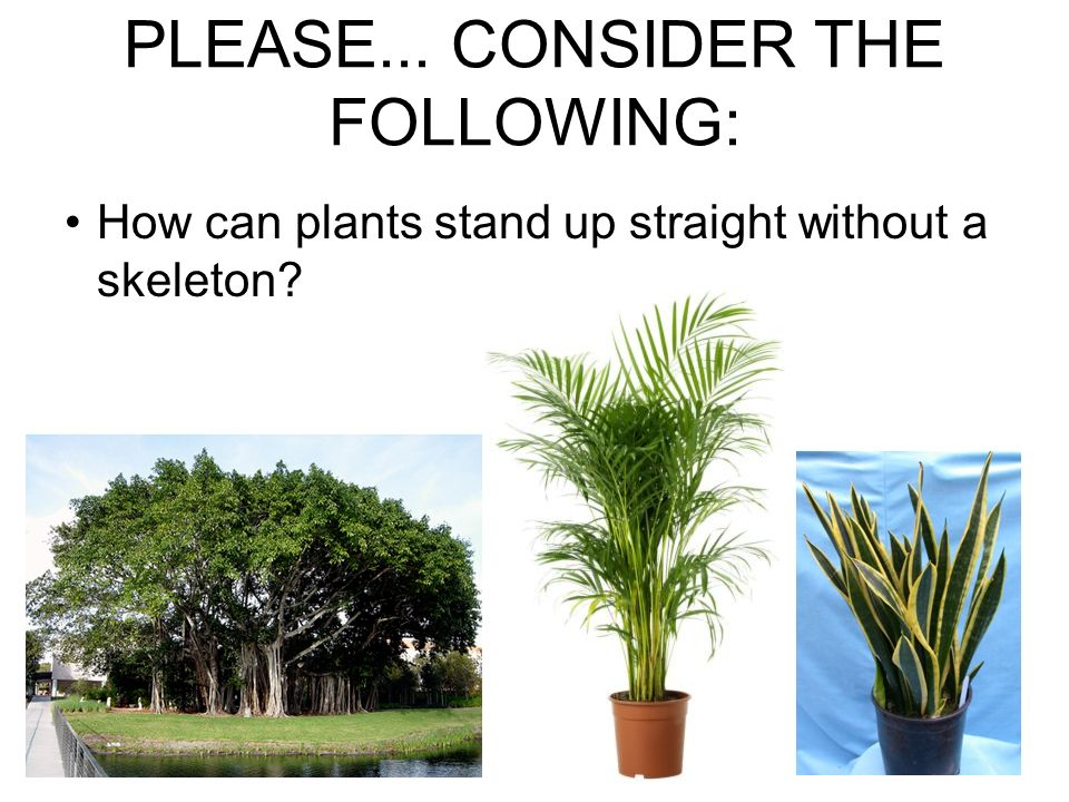 PLEASE... CONSIDER THE FOLLOWING: How can plants stand up straight without a skeleton?