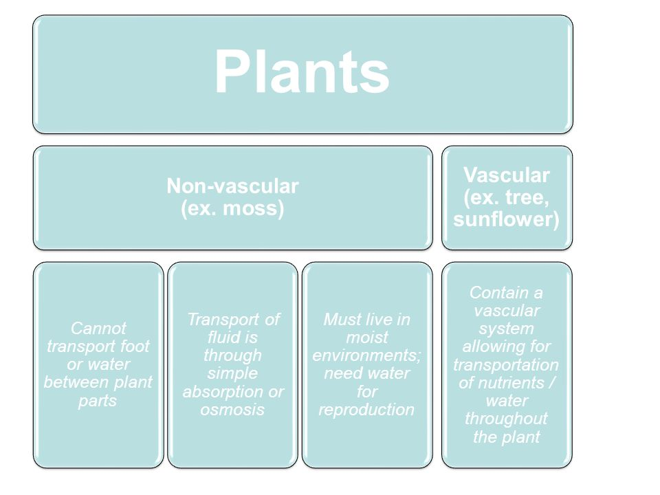 Plants Non-vascular (ex. moss) Cannot transport foot or water between plant parts Transport of fluid is through simple absorption or osmosis Must live