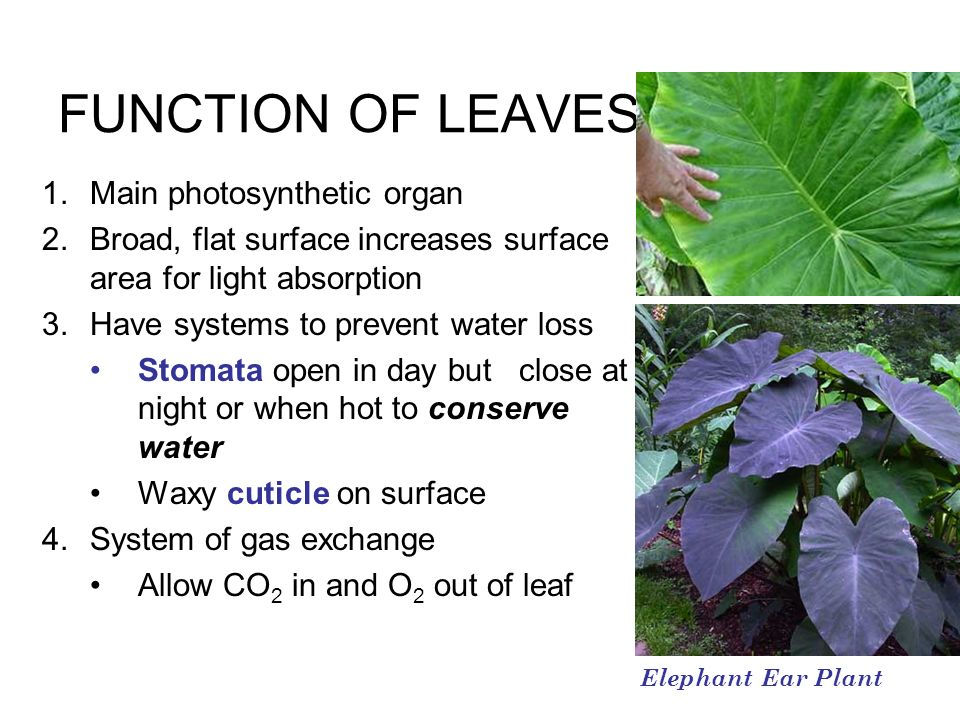 FUNCTION OF LEAVES 1.Main photosynthetic organ 2.Broad, flat surface increases surface area for light absorption 3.Have systems to prevent water loss