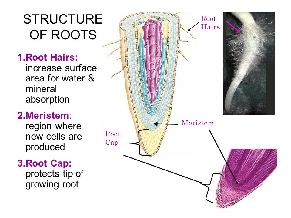 STRUCTURE OF ROOTS 1.Root Hairs: increase surface area for water & mineral absorption 2.Meristem: region where new cells are produced 3.Root Cap: prot