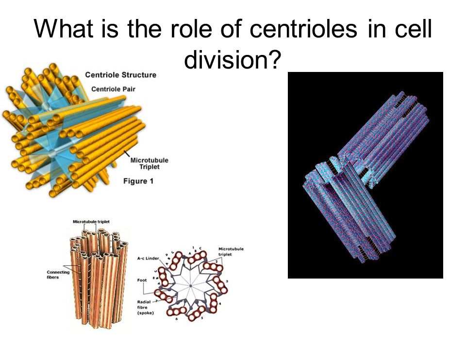 What is the role of centrioles in cell division?