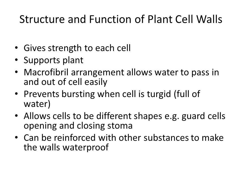 Structure and Function of Plant Cell Walls Gives strength to each cell Supports plant Macrofibril arrangement allows water to pass in and out of cell