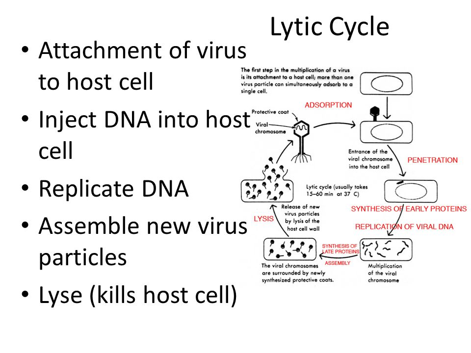 Lytic Cycle Attachment of virus to host cell Inject DNA into host cell Replicate DNA Assemble new virus particles Lyse (kills host cell)