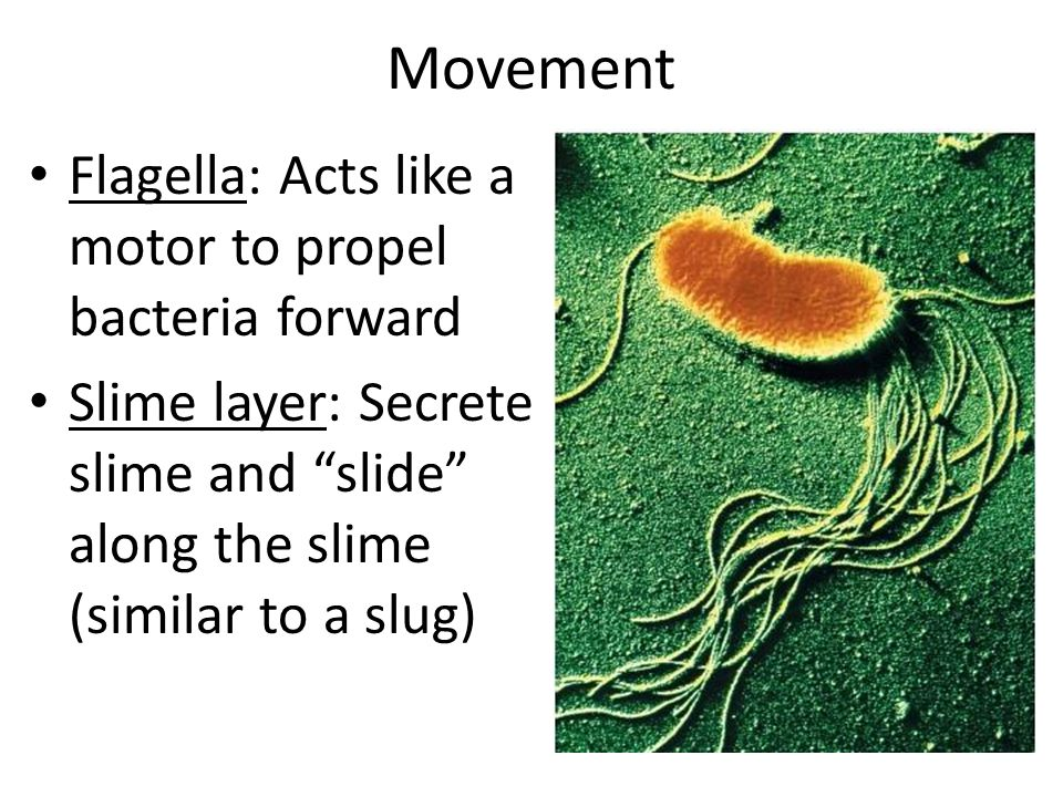 Movement Flagella: Acts like a motor to propel bacteria forward Slime layer: Secrete slime and slide along the slime (similar to a slug)
