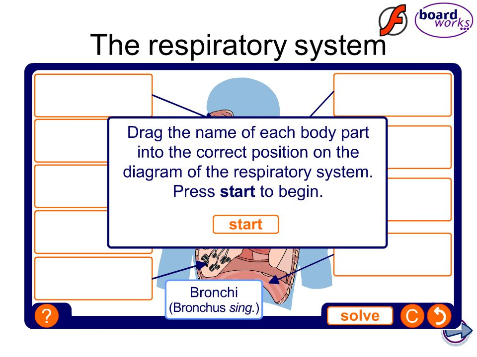 Respiratory System ROLE: To bring oxygen into the body and to get rid of the carbon dioxide from the body.