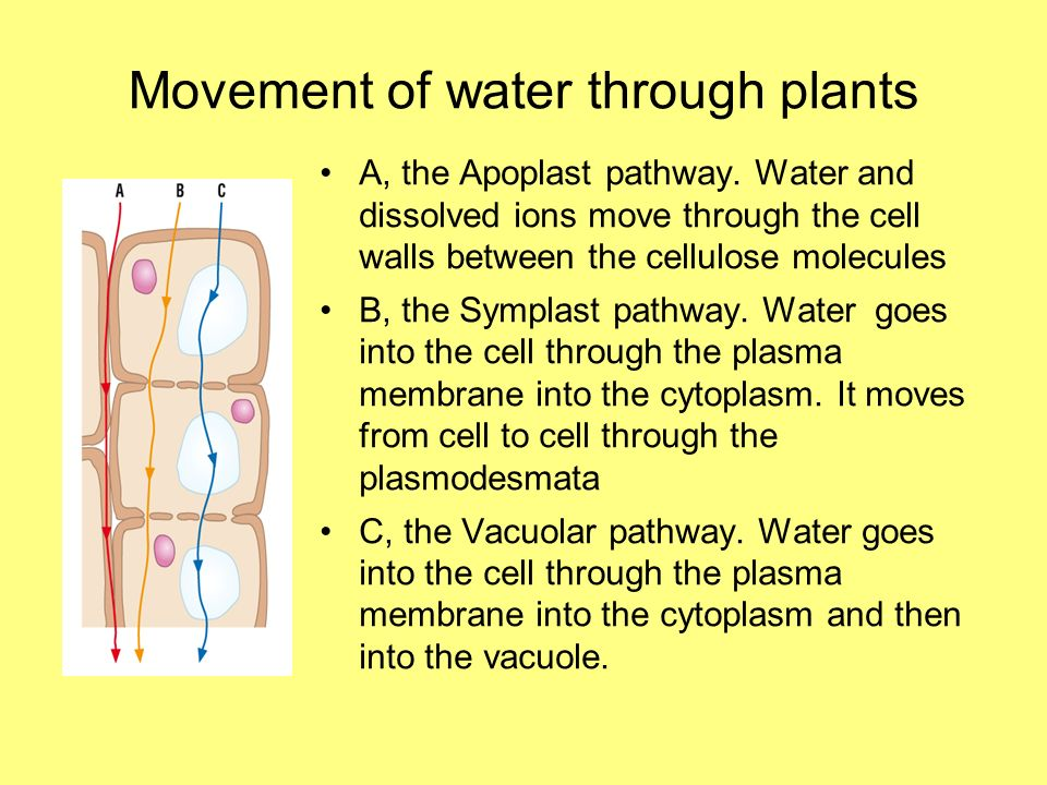 Movement of water through plants A, the Apoplast pathway. Water and dissolved ions move through the cell walls between the cellulose molecules B, the