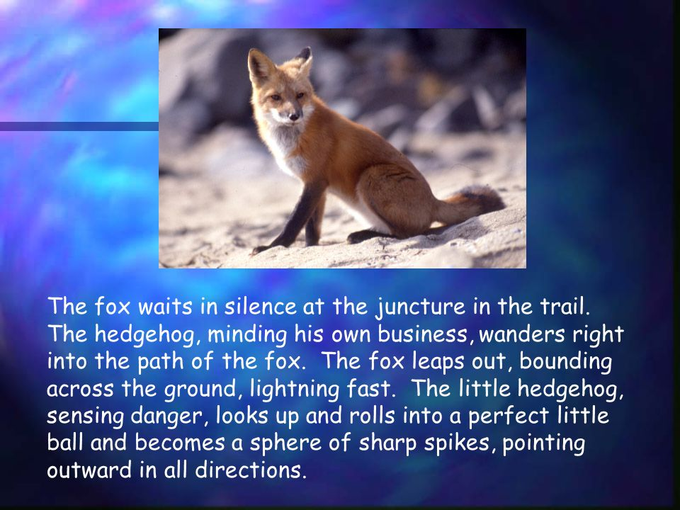 The fox waits in silence at the juncture in the trail.