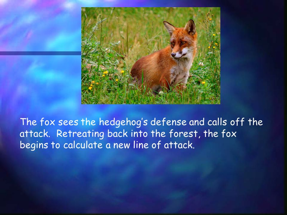 The fox sees the hedgehogs defense and calls off the attack.