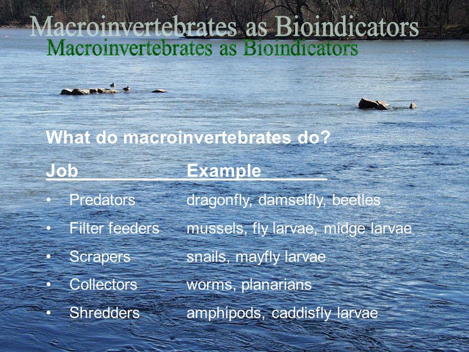 What do macroinvertebrates do? JobExample Predatorsdragonfly, damselfly, beetles Filter feedersmussels, fly larvae, midge larvae Scraperssnails, mayfl