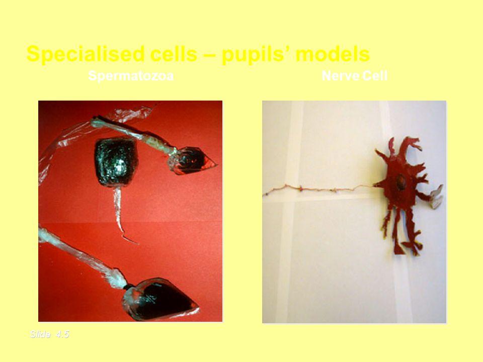 Specialised cells – pupils models Slide 4.5 Nerve Cell Spermatozoa