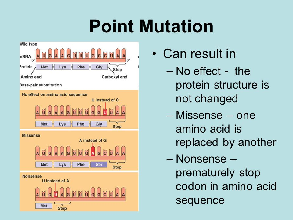 Point Mutation Can result in –No effect - the protein structure is not changed –Missense – one amino acid is replaced by another –Nonsense – premature