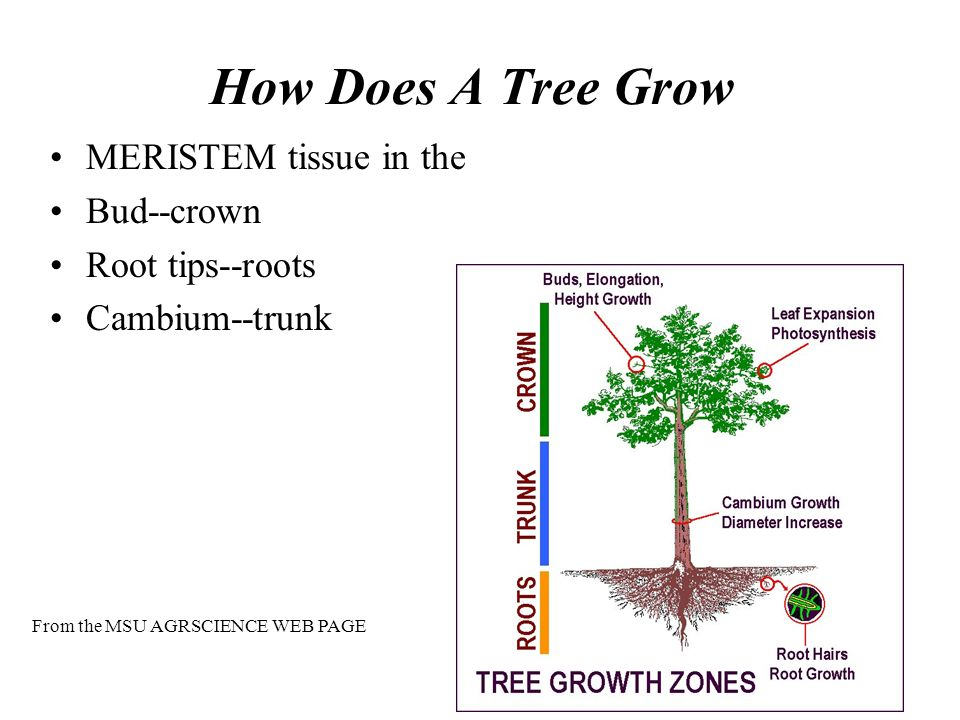 How Does A Tree Grow MERISTEM tissue in the Bud--crown Root tips--roots Cambium--trunk From the MSU AGRSCIENCE WEB PAGE