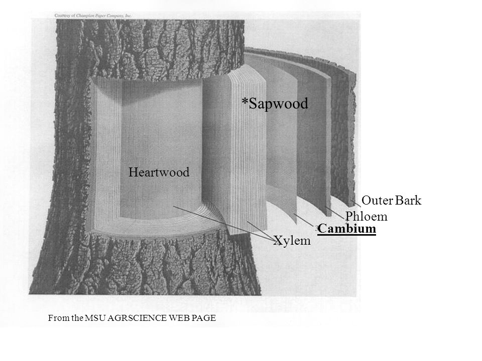Heartwood Xylem Cambium Phloem Outer Bark From the MSU AGRSCIENCE WEB PAGE *Sapwood