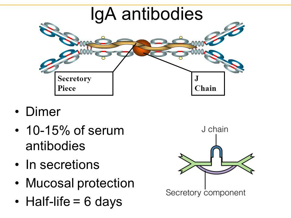Dimer 10-15% of serum antibodies In secretions Mucosal protection Half-life = 6 days IgA antibodies J Chain Secretory Piece